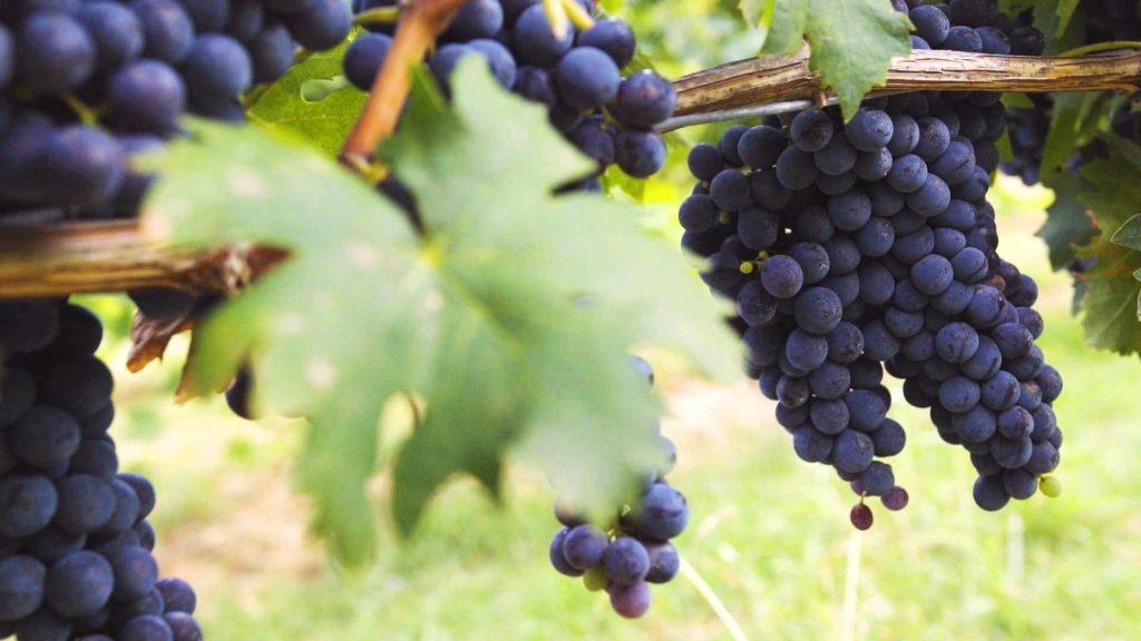 vigne sancrispino grappoli